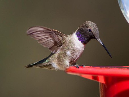 Hummingbirds-They Are Here!!!