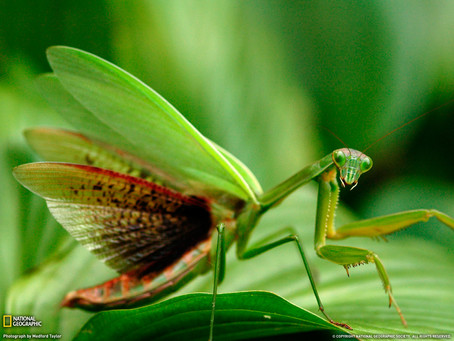 Praying Mantis-The Most Reverent Insect