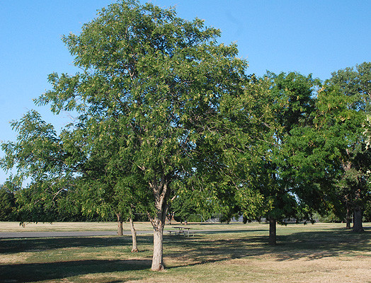 M Western Soapberry
