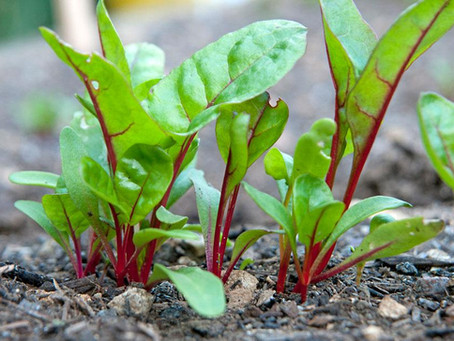 Eat Your Spinach! And other Greens