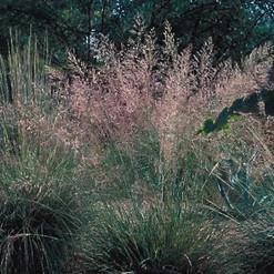Bullgrass