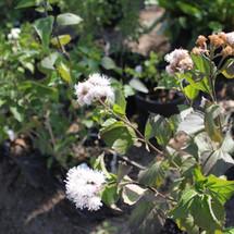 Fragrant White Mist Flower