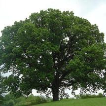 L Bur Oak