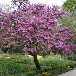 S Mexican Redbud
