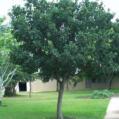 M Lacey Oak