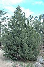 M Pinyon Pine