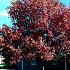 M Texas Red Oak