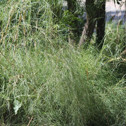 Bamboo Muhly