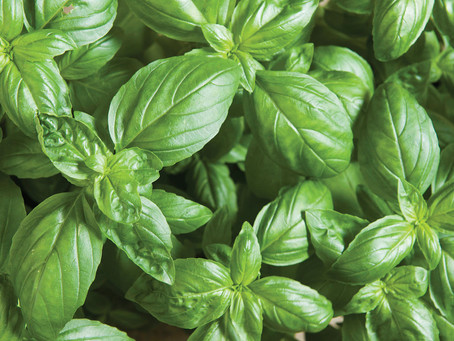 A Frost Warning About Basil