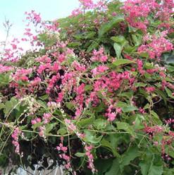 Coral Vine