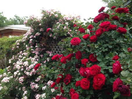 What's Happening in the Rose Garden