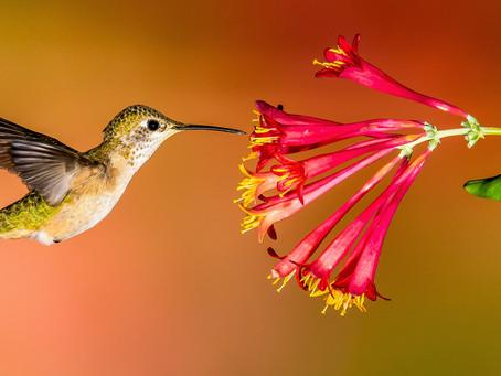 Understanding Hummingbirds-Can They Sing?