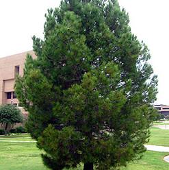 L Afgan Pine