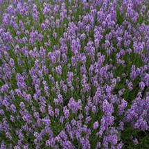 Lavender, Munstead