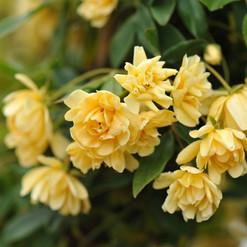 Lady Banks Rose