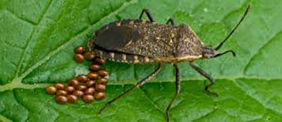 Squash Bugs, UGH!!