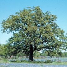 M Escarpment Live Oak