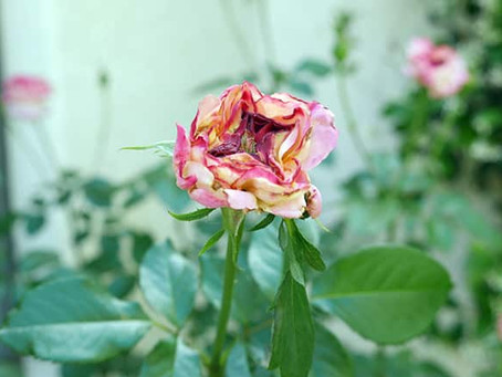 Pests on Roses