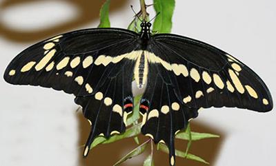 Butterflies in Your Garden