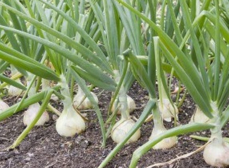 It's Time To Plant Onions