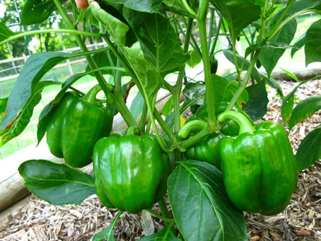 Growing Peppers in West Texas