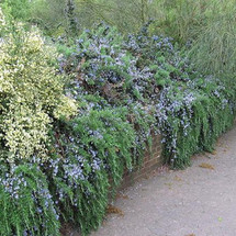 Rosemary Prostrate