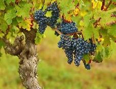 grapes 2 may .jpg