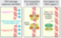 DNA repair.jpg