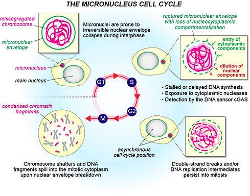 Micronuclei.jpg