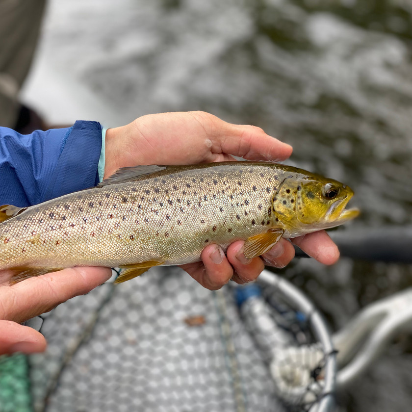 Western Massachusetts Brown Trout