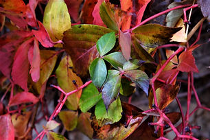 Faraya Autumn Leaves