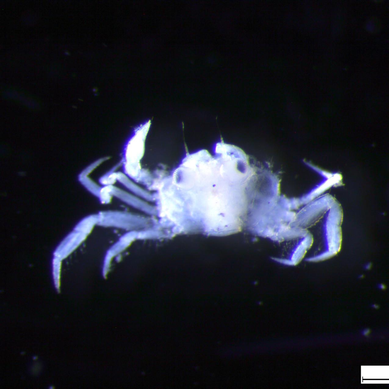 Crab megalopa