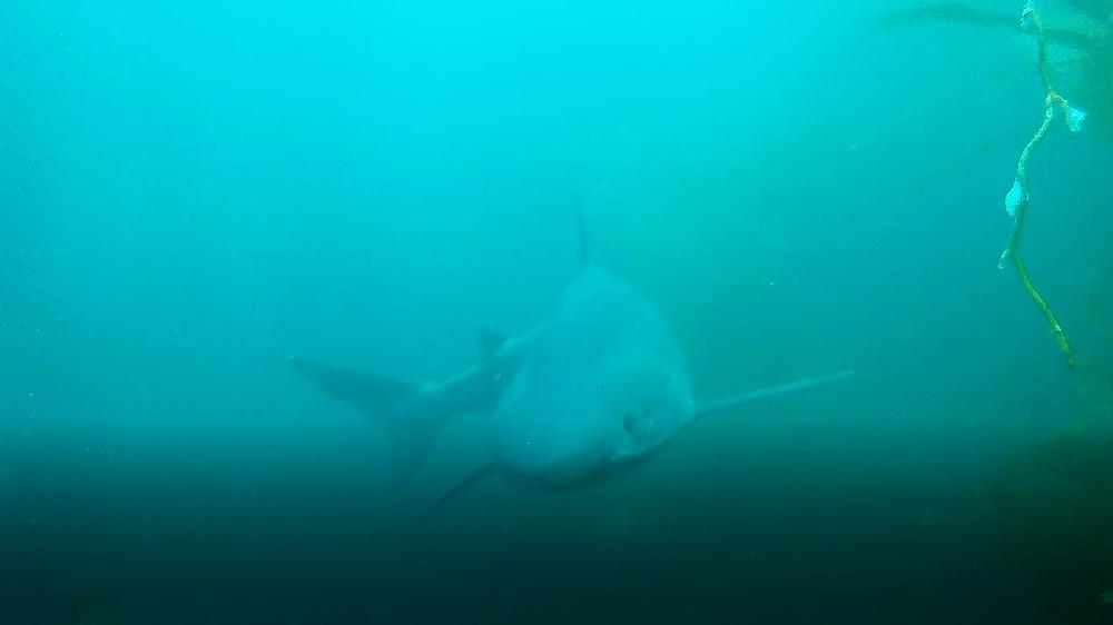 soupfin shark
