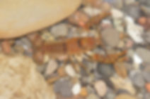 Obey_Crayfish_Female_Cambarus_Obeyensis_