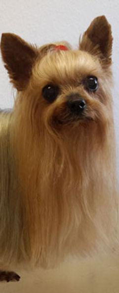Yorkshire Terrier Hundesalon Köln Hundesalon Lilly Köln Hundepflege Köln Hundefriseur Köln