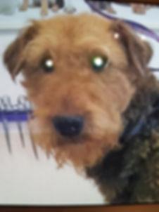 Airedale Terrier fachgerechtes trimmen im hundesalon lilly köln