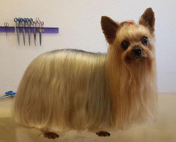 Yorkshire Terrier Hundesalon Köln Hundesalon Lilly Köln Hundepflege Köln Hundefriseur Köln Yorki