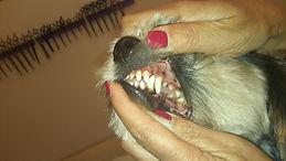 Professionelle Zahnpflege im Hundesalon Lilly Köln Emmi Pet Zahnpflege für HundeHundesalon Lilly Köln Hundesalon Köln Hundefriseur Köln Hundepflege Köln Zahnpflege Emmi Pet