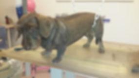 Trimmen fachgerechte hundepfllege Rauhaardackel trimmen hundesalon Lilly köln porz