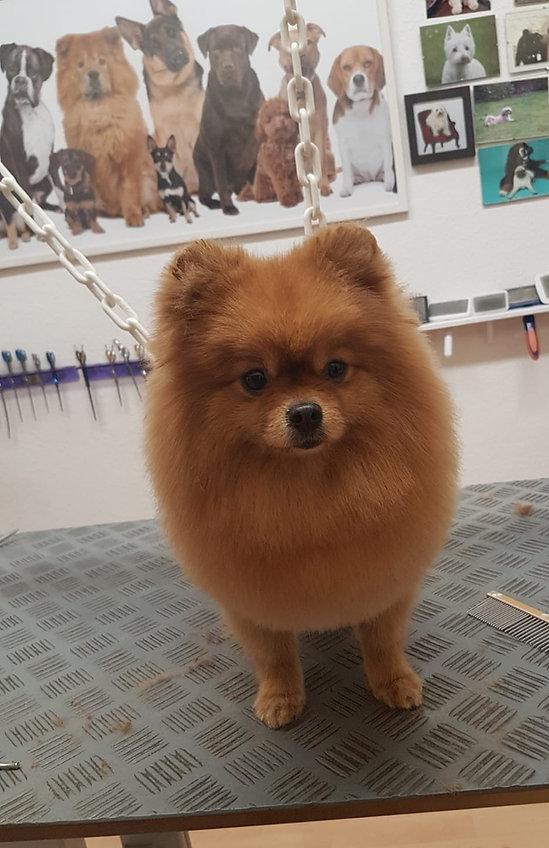 Pomeranian schneiden Pomeranian Hundefriseur Pom Hundesalon Pomeranian Hundesalon Lilly Köln