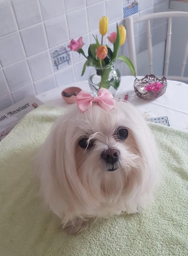 Malteser Hundesalon Lilly Köln Hundefriseur Köln Hundepflege