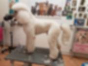 Königspudel Großpudel Pudel schneiden Hundesalon Lilly Köln King Size Poodle grooming Giant Poodle grooming Pudel Hundepflege Köln