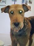 Airedale Terrier trimmen, handstripping, fachgerechtes trimmen, hundesalon lilly köln