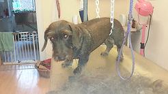 Trimmen fachgerechte hundepflege handstripping  trimmen hundesalon Lilly köln porz