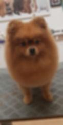 Pomeranian schneiden Hundesalon Lilly Köln