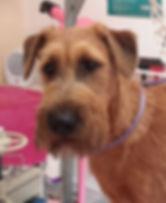 Trimmen fachgerechte hundepfllege hundesalon Lilly köln porz