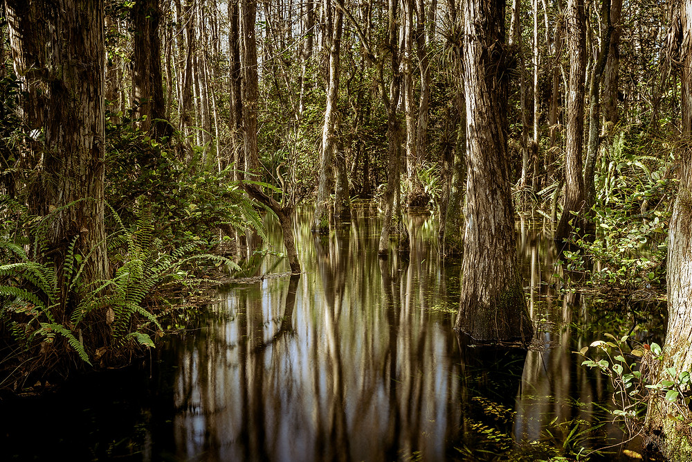 deep in the swamps of Big Cypress Preserve, just south of Everglades National Park in Florida. Cypress trees grow out of the water, and there are certainly gators swimming just under the surface