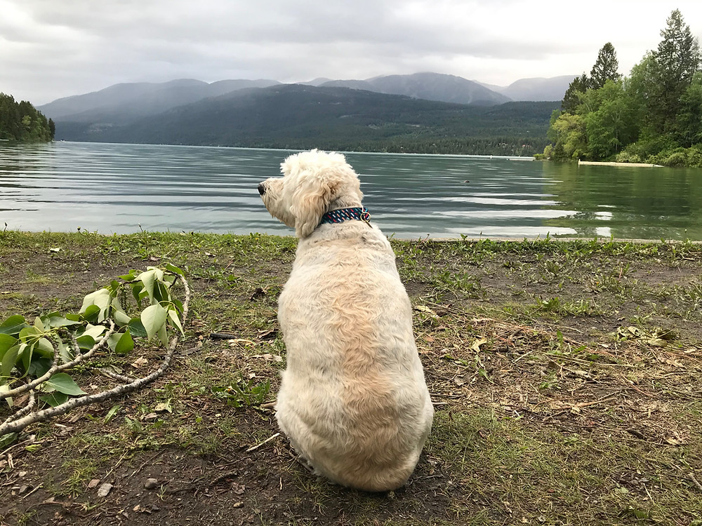 Butters the poofy poodle-esque mutt sitting patiently on the shores of Whitefish Lake near Great Falls, Montana. His rump is fluffy and magnificent