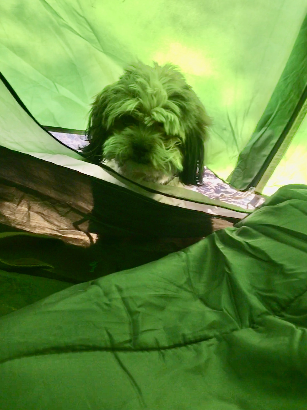 S'mores the shaggy maltese - poodle - shih tzu desperately tries to escape the cold climate of Bryce Canyon National Park by poking his head inside a tent