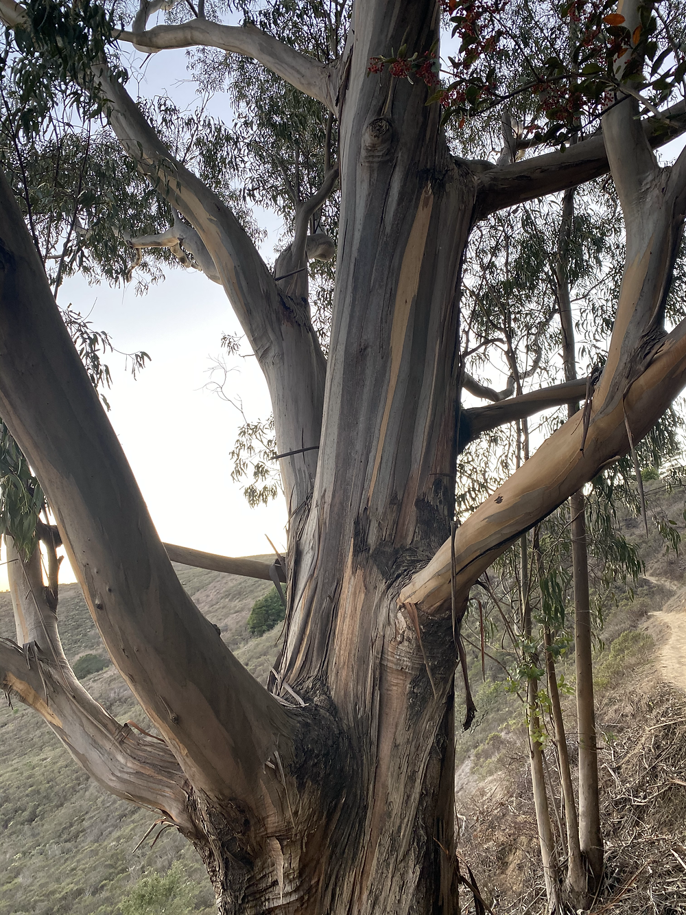 Scraps of bark from a Eucalyptus Tree naturally fall away from the trunk on Mount Tamalpias in Marin, California